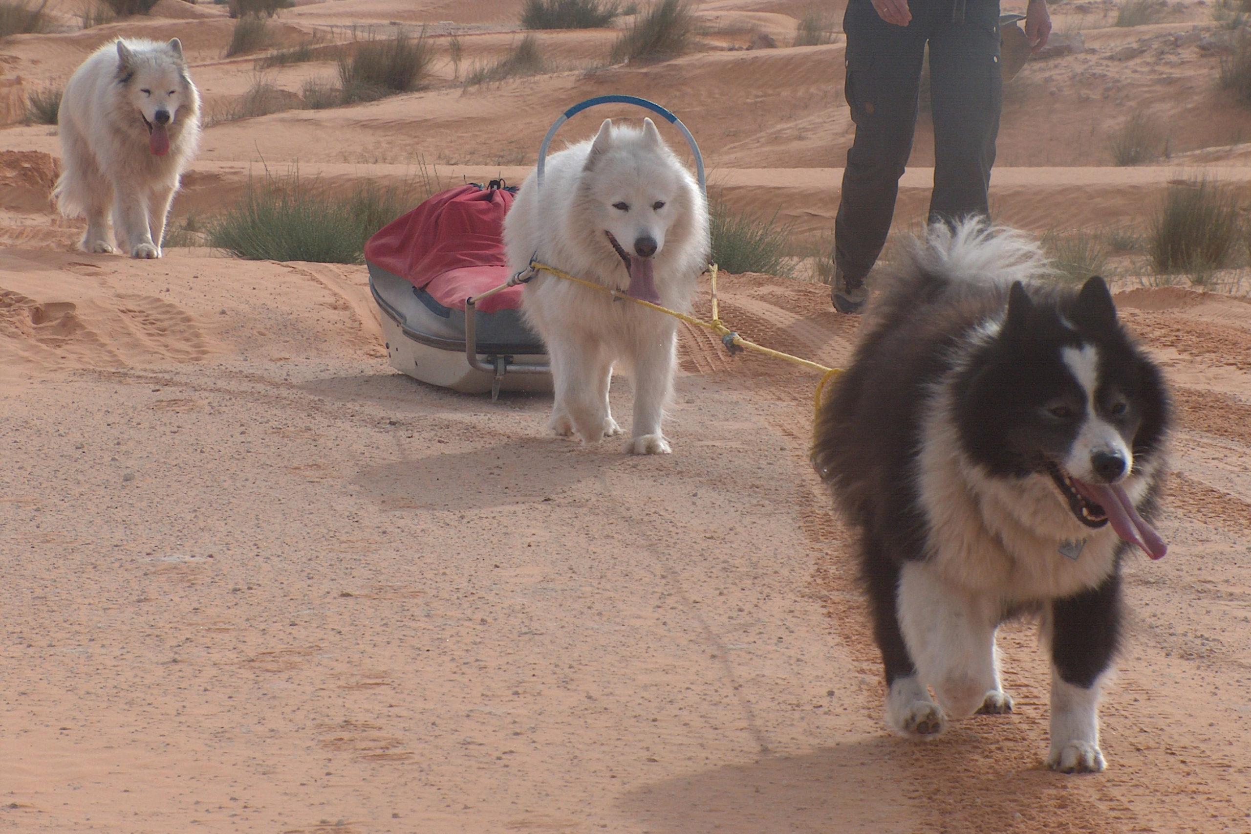 Hundeschlitten Wanderung Wüste