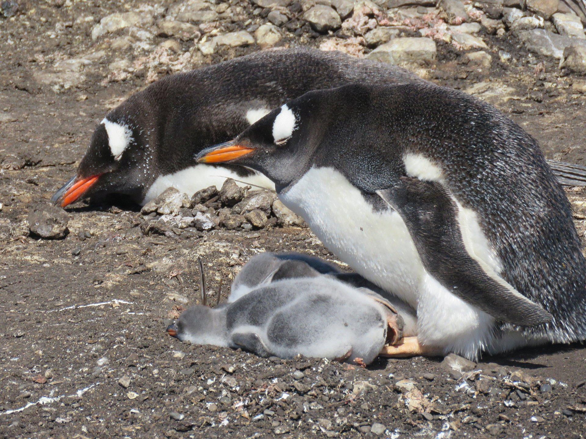 Falklandinsel Eselspinguin