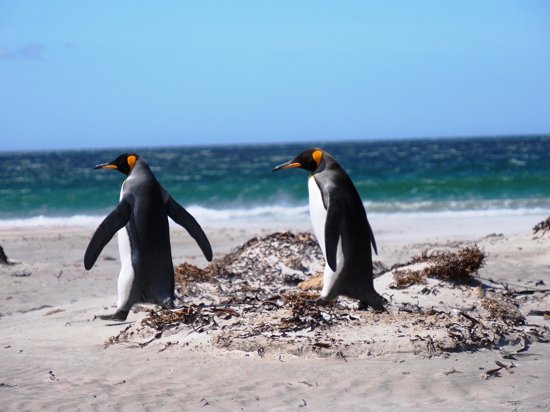 Falklandinsel Königspinguin
