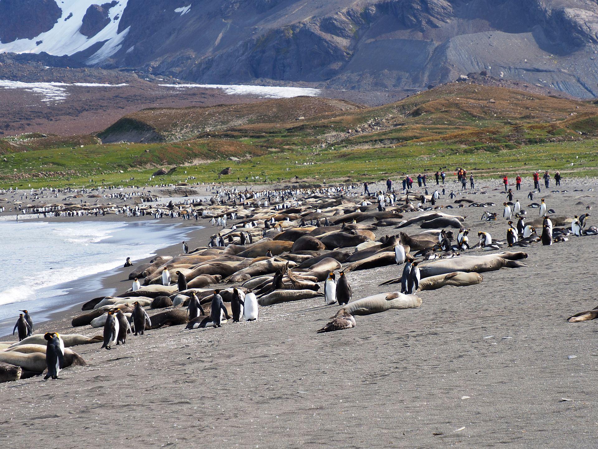 Südgeorgien Pinguinkolonoe