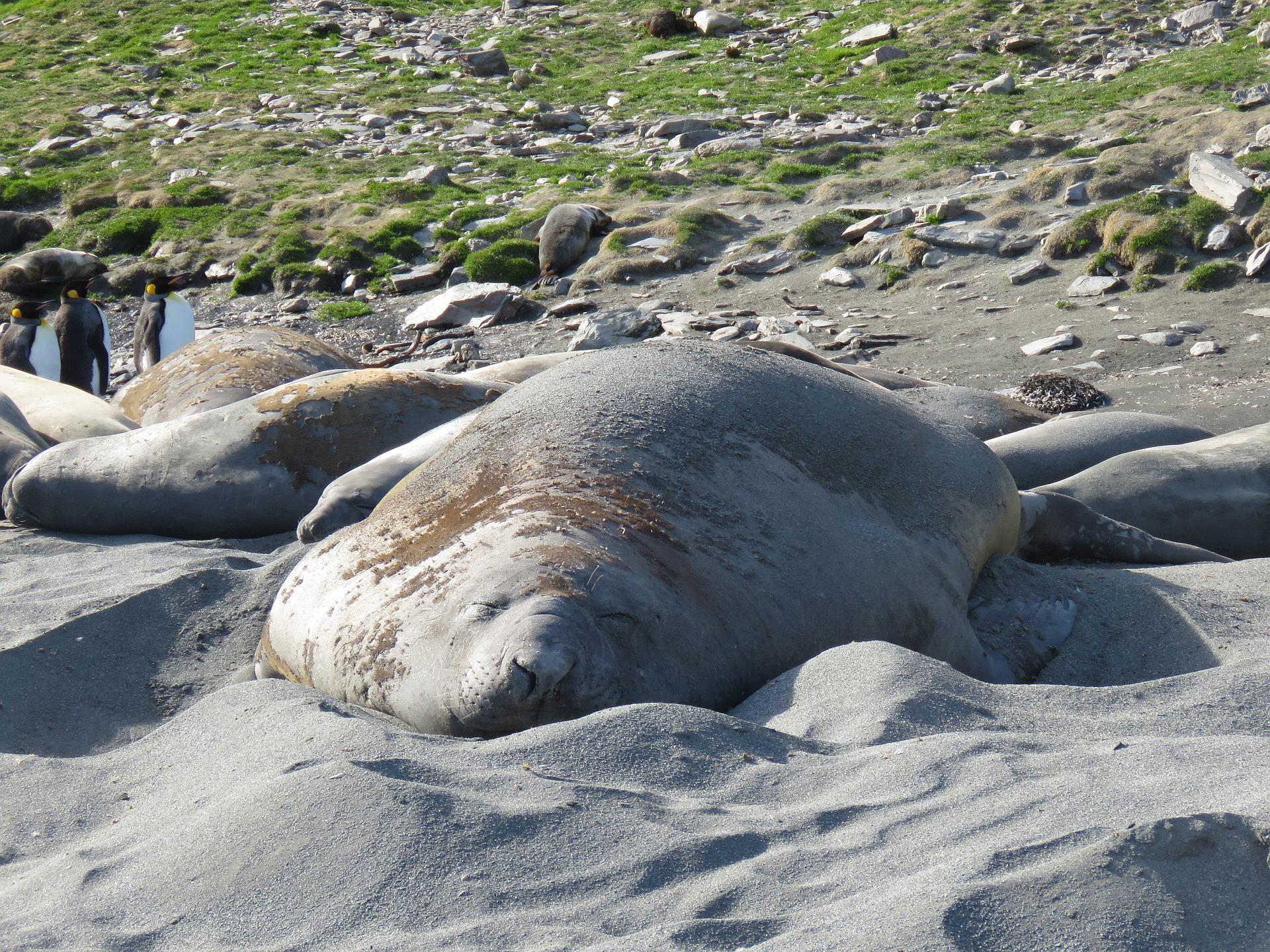 Südgeorgien Seeelefant