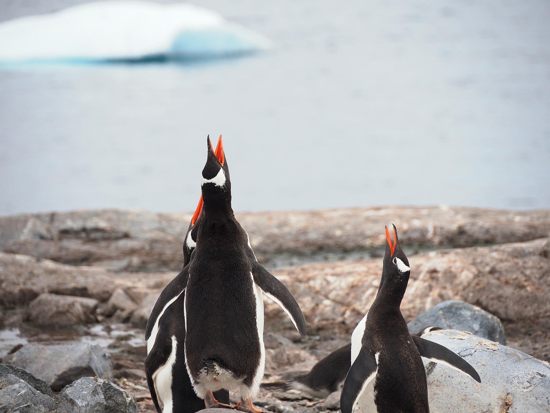 Cuverville Pinguine
