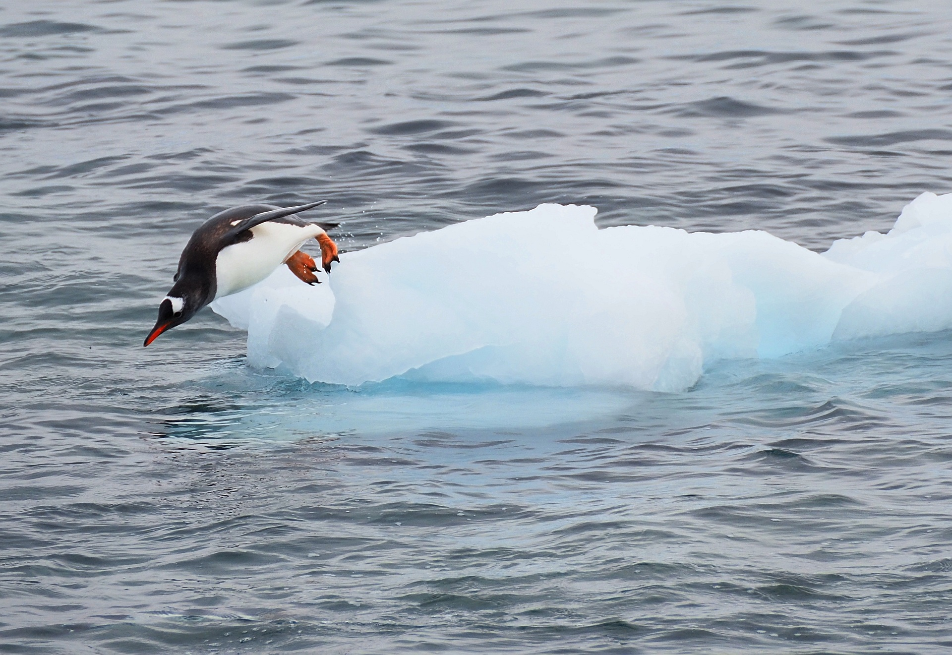 Antarktis Pinguin