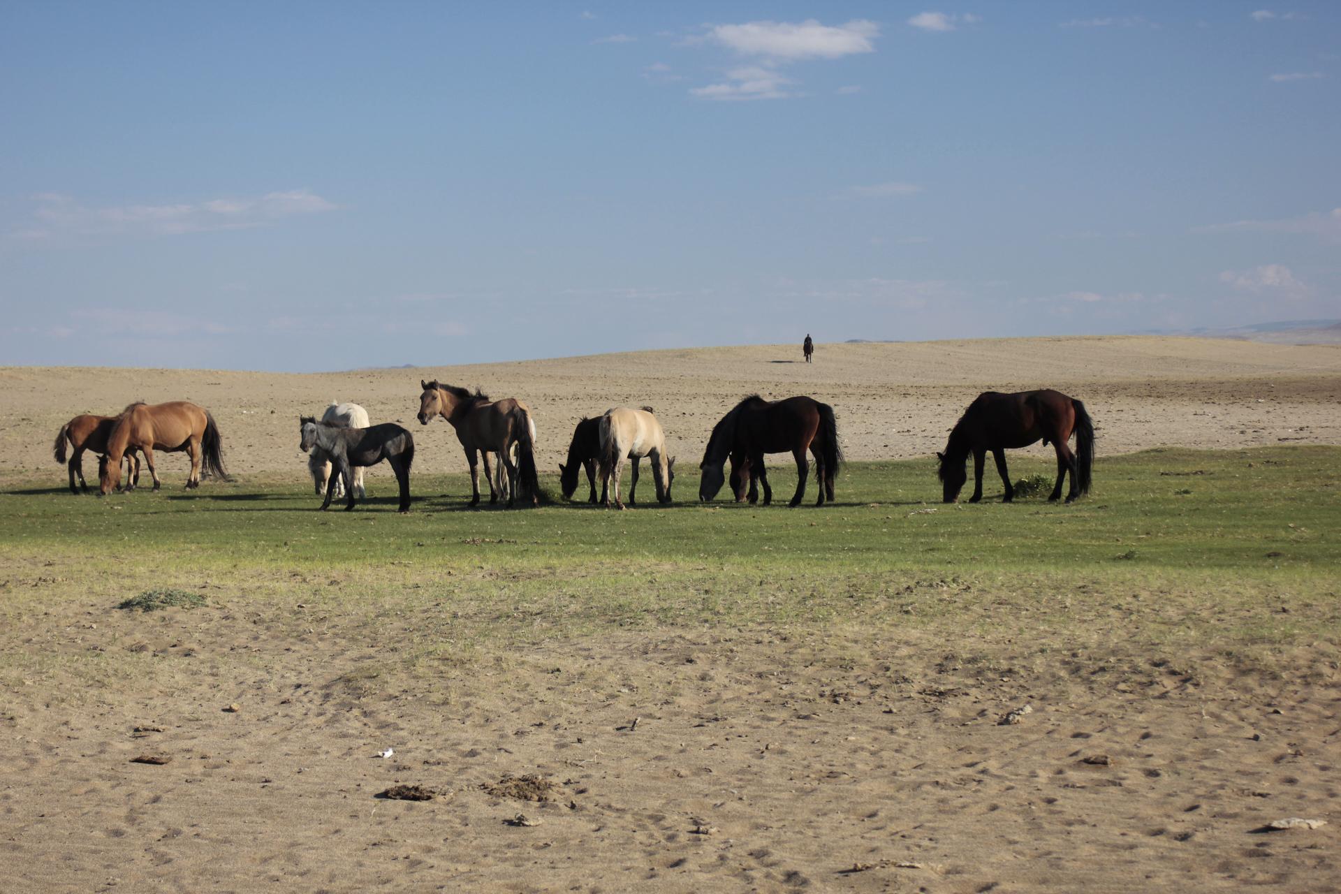 Pferde im Norden der Mongolei