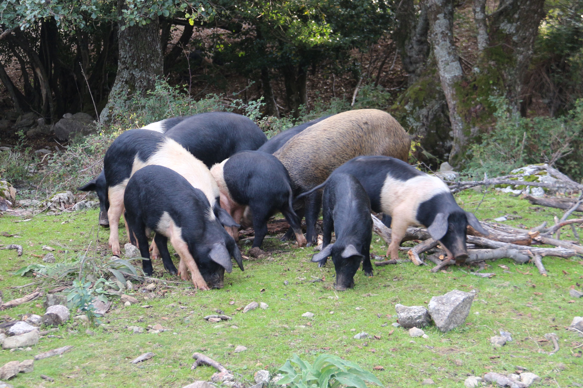 Schweinezucht in Korsika